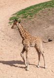 Baby Giraffe. Close up of a Baby Giraffe standing stock photography