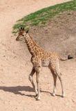 Baby Giraffe Stock Photography