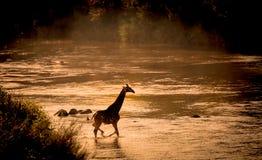 Baby Giraffe crossing the river Stock Photo