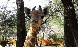 Baby Giraffe. Curious baby Giraffe with cute face royalty free stock images