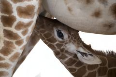 Baby giraffe. A Baby giraffe is drinking milk stock images