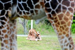 Baby giraffe & father Stock Photos