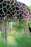 Baby giraffe & father artistic effect Stock Image