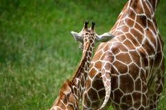Baby giraffe follows mom. A baby giraffe follows his mother across a field Royalty Free Stock Photography