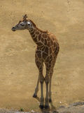 Baby Giraffe. Giraffa camelopardalis Standing with Dusty Ground Vertical royalty free stock image