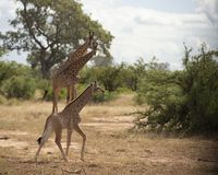 Baby Giraffe or Giraffa, running in rain. To right with two giraffe in background with green foliage in background. Kruger National Park. South Africa royalty free stock photos