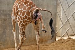 Baby giraffe. Is giving birth on the land stock photo