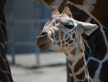Baby Giraffe Royalty Free Stock Photography