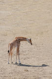 Baby giraffe Stock Photos