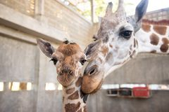 Baby Giraffe Is Giving Birth On The Land Stock Image