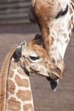 Baby giraffe and its mother. In a zoo royalty free stock image