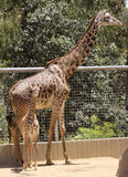 A Baby Giraffe and its Mother in a Zoo Royalty Free Stock Photos