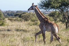 Baby Giraffe. A juvenile giraffe in the Kruger Park - South Africa Royalty Free Stock Image