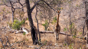 Baby Giraffe. In Kruger, South Africa royalty free stock image