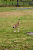 Baby giraffe. In Longleat safari park, England royalty free stock photos