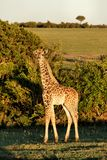 A baby giraffe looking at the camera during sunset royalty free stock photo