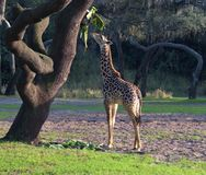 Baby Giraffe looking up. Baby Giraffe is looking up at fruit in the forest stock photos