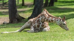 Baby giraffe. Lying on the ground, eating grass stock images