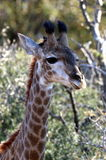 Baby Giraffe. A baby giraffe at Marakele Game Reserve in South Africa royalty free stock photo
