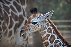 Baby Giraffe. A baby giraffe at the Milwaukee County Zoo with its mom in the background. The baby was born September 16, 2015 in Milwaukee, Wisconsin stock images