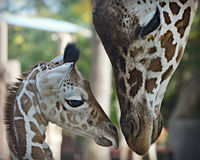 Baby Giraffe with Mom. The new baby giraffe born on September 16, 2015 with it's mom, whose name is Ziggy, in a very tender moment at the Milwaukee County Zoo in stock photo