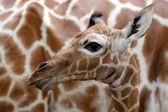Baby giraffe. A baby giraffe with mother stock image
