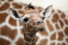 Baby giraffe. A Baby giraffe with mother royalty free stock photo