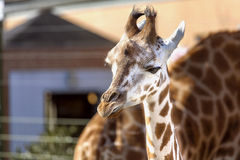 Baby Giraffe. And mother behind in zoo stock image
