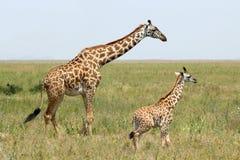 Baby giraffe and mother Stock Photo