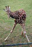 Baby giraffe nibbling on twig Stock Photography