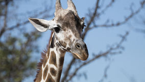 Baby Giraffe. New addition Baby Giraffe in Denver zoo Royalty Free Stock Image