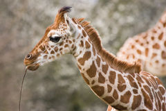 Baby giraffe playing with stick Stock Photos