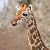 Baby giraffe portrait Stock Image