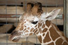 Baby Giraffe Portrait Stock Images