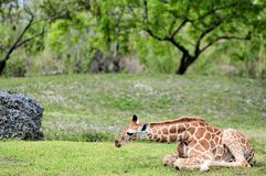 Baby giraffe resting Royalty Free Stock Photography