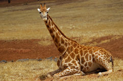 Baby giraffe resting. A baby giraffe resting on the ground stock photos