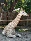 A baby giraffe resting in  the shade. On a hot day this baby giraffe decided to rest in the shade royalty free stock image