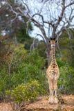 Baby Giraffe. In safari park in South Africa royalty free stock photo