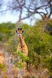 Baby Giraffe. In safari park in South Africa stock photo
