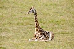 Baby giraffe sitting Stock Photography