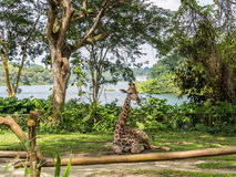 Baby giraffe. Sitting on the ground in the park stock images