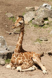 Baby Giraffe Sitting On The Ground Royalty Free Stock Images