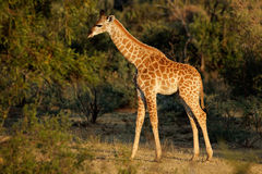 Baby giraffe. A small baby giraffe (Giraffa camelopardalis) in natural habitat, South Africa stock photos