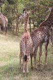 Baby giraffe standing behind another young giraffe Royalty Free Stock Photo