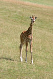 Baby Giraffe. A baby giraffe standing on the grass stock photography