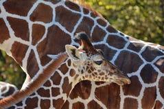 Baby Giraffe. Standing beside it's Mom Stock Images
