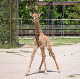 Baby giraffe. Stands in a pen at the zoo royalty free stock images