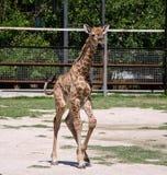 Baby giraffe Stock Images