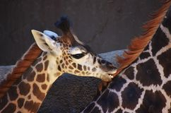 Baby Giraffe Teething. Baby Masai Giraffe female cub chewing on it`s sibling`s neck. Los Angeles Zoo and Botanical Gardens stock photo