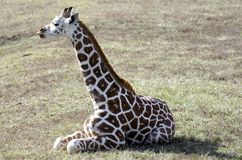 Baby Giraffe. A three month old baby giraffe sitting in the sun royalty free stock photos